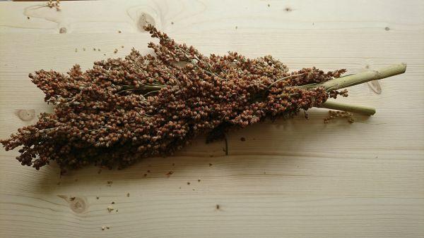 lockere Kolbenhirse rot